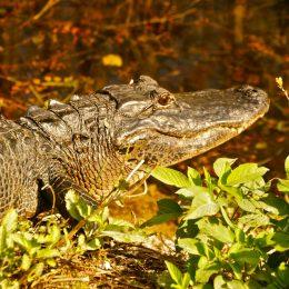 Alligator im Everglades National Park