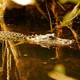 Begegnung mit einem Alligator