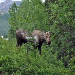 Begegnung mit Moose im Denali National Park