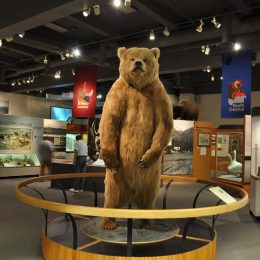 Alaskan Grizzly im Museum Of The North