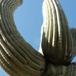 Saguaro Kaktee, Saguaro National Park, Arizona