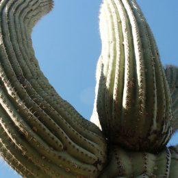 Saguaro Kaktee