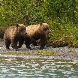 Bärenbabies, Wrangell St. Elias National Park