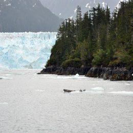 Meares Gletscher Robben