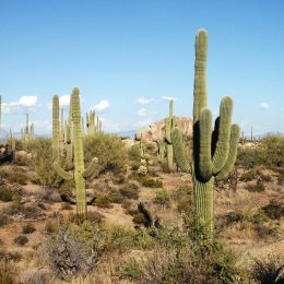 Saguaro Kakteen im Saguaro National Park, Arizona