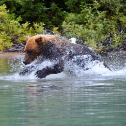Bär auf der Jagd, Wrangell St. Elias National Park