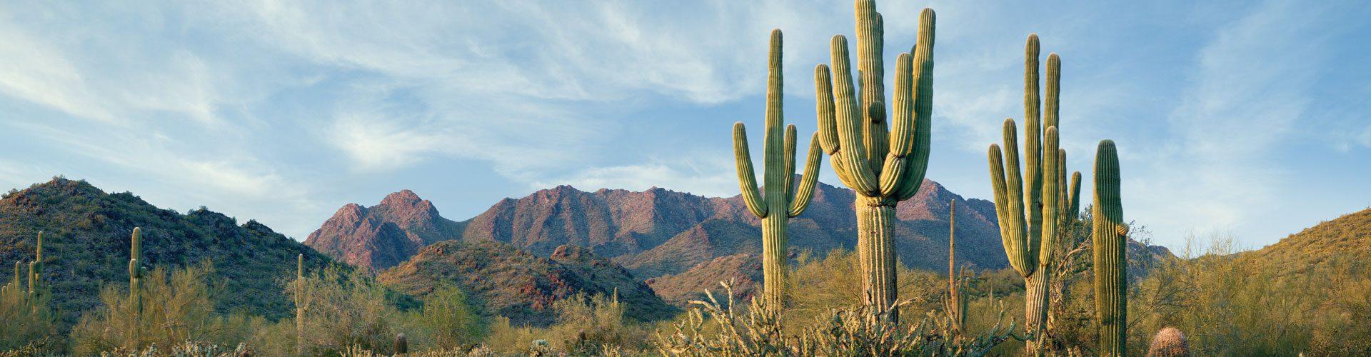 Saguaro Kaktee in Arizona