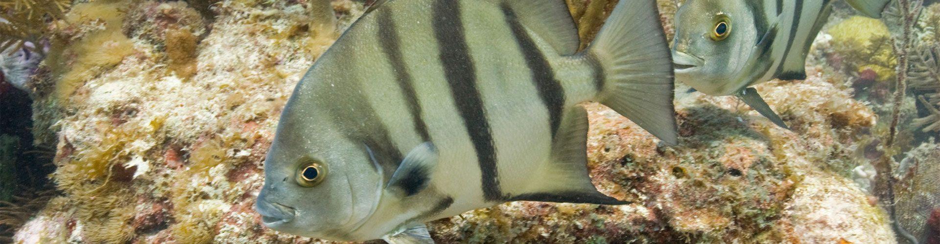 Atlantischer Spatenfisch, Biscayne National Park, Florida