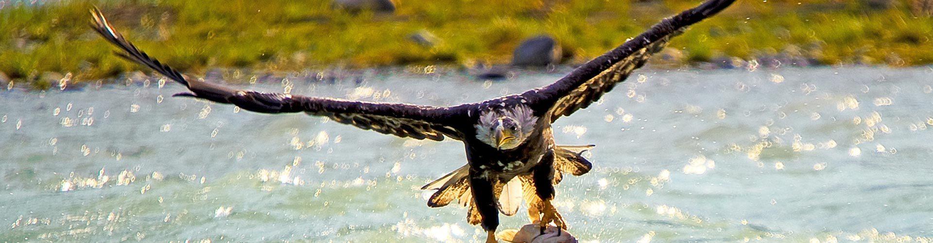 Adler mit Beute im Wrangell St. Elias National Park