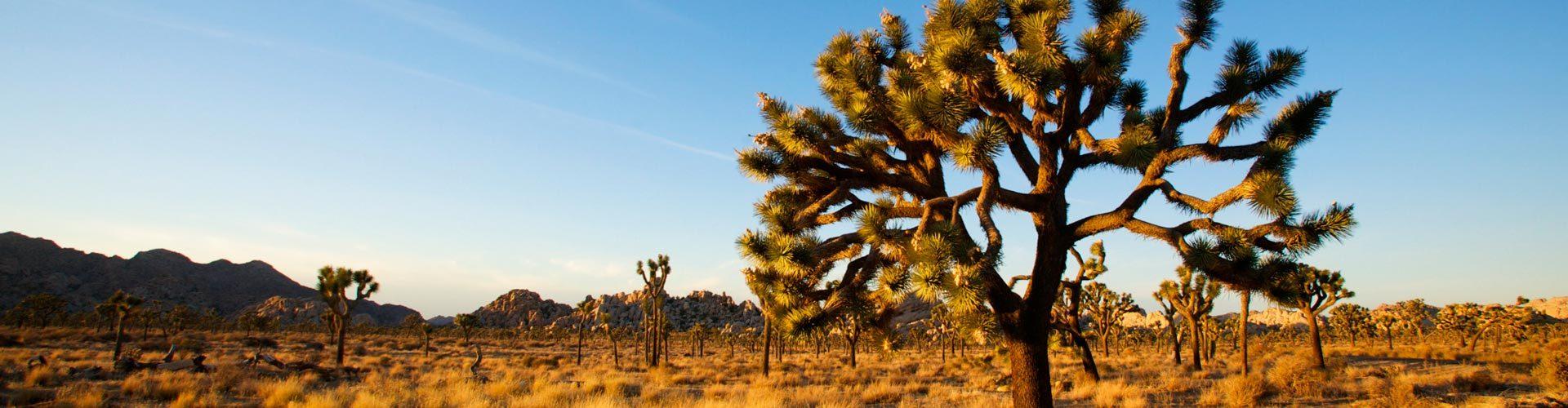 Joshuabäume im Joshua Tree Nationalpark, Kalifornien