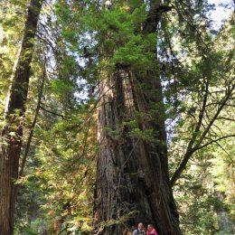 am Foto sieht man nur einen Teil der riesigen Bäume