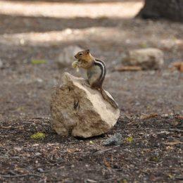 Eichhörnchen auf Nahrungssuche am Summit Lake